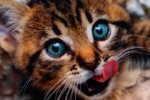Кошки, большие кошки